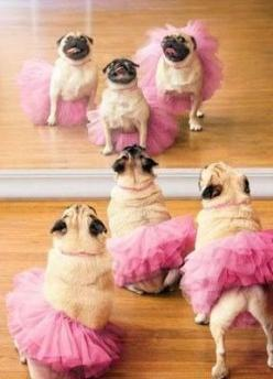 Pugs in tutus. Nuff said.: Safe, Animals, Dogs, Pug Life, Pet, Pink Tutu, Ballerina Pug, Pugs