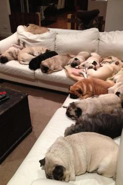 Pugs... This will prob be me in a few short years: Animals, Couch, Dogs, Pug Life, Pets, Funny, Pugs
