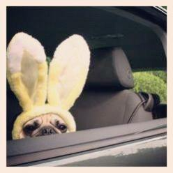 pugsofinstagram: Marley! @jade_mm #pugsofinstagram #pug #easter If I ever saw this while driving I would die from cuteness.: Pugs Bunny, Pug Life, Bunny Pug, Dog, Easter Puggy, Easter Bunny, Happy Easter, Pug Bunny, Animal