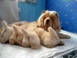 puppies and their mama!: Animals, Puppies, Dogs, Pet, Chow Chow, Puppys, Baby, Chowchow, Fluffy Butt