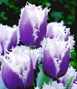 purple frills ATTRACTS: Rabbits (for the bulbs). Plant with Downy Hawthorn Tree which attracts Red Headed Woodpeckers. / Place chicken wire above bulbs under ground to keep rabbits from digging up.  Plant under trees that don't have deep shade.: Purpl