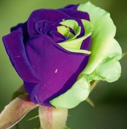 Purple Green Mix Rose Bud ༺✿ƬⱤღ http://www.pinterest.com/teretegui/✿༻: Beautiful Roses, Purple, Color, Tea Rose, Beautiful Flowers, Green Rose, Rose Bud, Garden, Flower