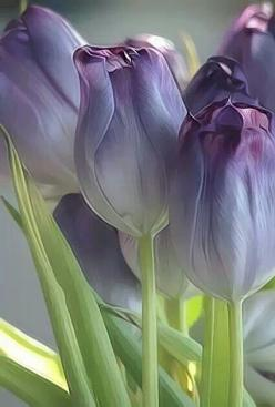 Purple Tulips: Purple Tulips, Flora, Color, Art, Beautiful Flowers, Flowers, Garden, Purple Flower, Favorite Flower