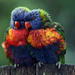 Rainbow lorikeets. Only God an create something so beautiful.: Animals, Nature, Color, Rainbows, Beautiful Birds, Photo