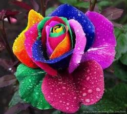 Rainbow Roses How to make this rose:  First get a white rose. Then spit the stem into 4 at its end.  Then put the 4 different parts of the stem into food colored water.  As the flowers begin to drink, it turns the flower into this!: Nature, Colors, Rainbo