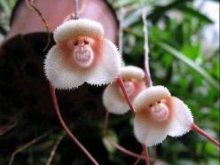 Rare Monkey Grin Orchards: Grinning Monkey, Nature, Monkey Orchids, Mysterious Grinning, Monkeyorchid, Flowers, Garden