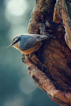 Red Breasted Nuthatch - Jennifer MacNeill: Animals, Poultry, Reference Photos, Backyard Birds, Beautiful Blue Bird, Beautiful Birds, Amazing Photos