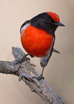 Red Capped Robin (Petroica goodenovii) is a small passerine bird native to Australia. Found in drier regions across much of the continent, it inhabits scrub and open woodland.: Robin Returning, Redcapped, Nature, Robins, Beautiful Birds, Photo, Animal, Re