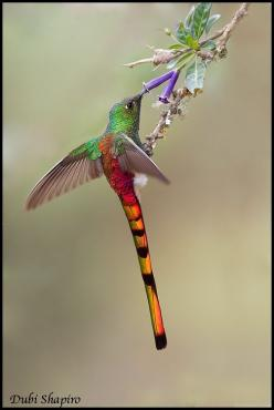 Red-tailed Comet (Sappho sparganura) Male feeding on a flower: Humming Birds, Birds Hummingbird, Hummingbirds, Animal