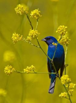 rhamphotheca:    dendroica: Indigo Bunting, Walnut Creek, CA, USA  (photo by Hockey.Lover): Birds Buntings, Beautiful Birds, Beauty, Photo, Indigo Bunting, Hockey Lover, Animal