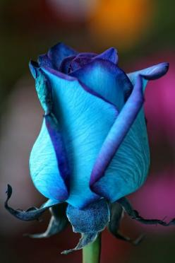 Rose with beautiful blue hues  Hey, I heard you're allergic, so I made you one: Beautiful Blue, Beautiful Flowers, Flowers, Garden, Beautiful Rose, Blue Roses