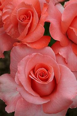 Roses | Cool Places: Pink Roses, Beautiful Roses, Color, Peach Rose, Beautiful Flowers, Rose Garden, Flowers Rose, Coral Roses