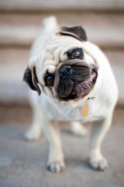 Ruby the Pug: Pug Life, Head Tilt, Pet, Pug Love, Pugs, Pug Dogs, Animal