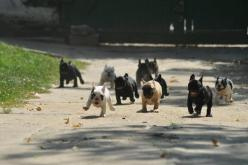 Running of the Bulls  (OK, so they're actually French Bulldogs, but they are way better than bulls anyway): Animals, French Bulldogs, Pet, Frenchbulldog, Funny Animal, Running