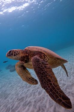 Sea Turtle~: Animals Yo, Seaturtles Turtles, Because Turtles, Show Me, Flipper, Animals Animals Animales, Turtles Sea Turtles Tortoises, Backbone Turtles