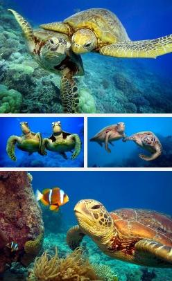 Sea turtles, the best friends a clown-fish can have: Sealife, Turtles Tortoise, Seaturtles Org, Bff, Hunt, Sea Turtles, Clownfish, Animal