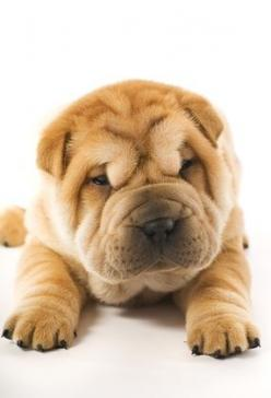 Sharpei-Baby: Sharpei Puppy, Adorable Animals, Beautiful Animals, Sharpei Baby, Dog Pet Animals, Animals 3, Dogs Animation, Animals Pics