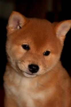 Shiba Inu, little brushwood dog. A very young pup. They really are this cute. I have a shiba myself.: Dogs, Pet, Shiba Inus, Baby, Shiba S, Animal, Shibainu