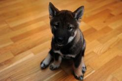 Shikoku puppy! I think this will be our next dog in addition to our Shiba Inu: Photos, Aww Puppy, Shiba Inu, Shikoku Puppy, Pet, Atsutaka Shikoku, Photo Sharing, Puppys, Puppy Love ️ ️