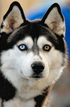 Siberian Husky - check out this dog's beautiful eyes, a blue and a brown, amazing.: Animals, Siberian Husky, Eye Colors, Brown Eye, Siberian Huskies, Blue Eyes, Beautiful Dogs