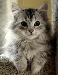 Siberian kitty.. pretty much the cutest thing ever! ( Don't tell my kitty): Kitten Breed, Hypoallergenic Cat Breed, Kitty Cats, Beautiful Cat, Animals, Fluffy Kitten, Siberian Cat, Chat, Kittens