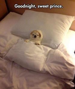 Sleep well // funny pictures - funny photos - funny images - funny pics - funny quotes - #lol #humor #funnypictures: Animals, Dogs, Bed, Pet, Funny, Puppy, Adorable, Things, Chihuahua