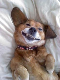 Smiling dog: Dogs Smile, Smiling Dogs, Smiling Animals, Doggy Smile, Dog Smiles, Happy Dogs, Animals Smiling 0, Photo, Friend