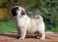 smooth cute pugs for your kids and family beautiful at http://stepgallery.com/smooth-cute-pugs-for-your-kids-and-family-beautiful/: Cute Pug Puppies, Animals, Dogs, Pug Life, Cute Pugs, Baby Pugs