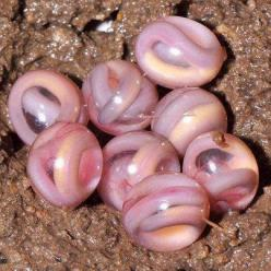Snake Eggs - this is so awesome!!!!!!!!!!!: Amazing, Baby Snakes, Animals, Nature, Creature, Legless Amphibian, Reptile, Amphibians, Snake Eggs