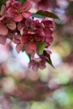 So amazing!: Spring Blossom, Marsala, Nature, Colors, Beautiful Flowers, Garden, Crab Apples