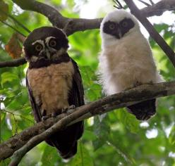 Spectacled Owl and Chick in the forests of Carara, Costa Rica: Speckled Owls, Birds 12 Owls Ugglor, Owl Photos, Adult Spectacled, Owl Pictures, Owl, Adult Speckled, Animal
