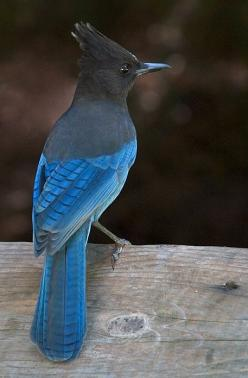 Steller's Jay by *secondclaw: Nature, Beautiful Birds, Stellar Jay, Ave, Animal