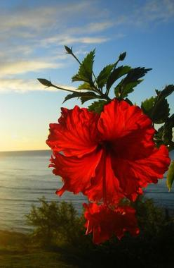 "sunrise hibiscus: ""sunrise at diamond head ... only modification was a slight crop on the left side where the light was too intense ... gotta love how awesome mother nature is"" --- photo by mzazure via flickr: Red Flower, Nature, Hibiscus Flowers,"