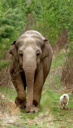 Tarra & Bella..After retiring from the circus, Tarra became the first resident of the Elephant Sanctuary in Tennessee. When other elephants moved in and developed close friendships, only Tarra remained independent? until the day she met a stray mixed-