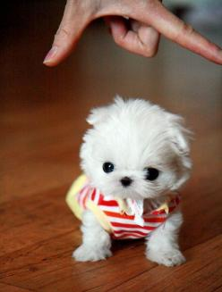 Teacup Maltese. I want one!!!!  Is that a real puppy? That's too tiny to be a real puppy. lol: Puppies, Animals, Dogs, So Cute, Pets, Puppys, Adorable, Baby