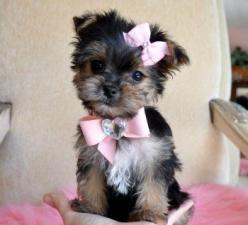 Teacup Maltese-Yorkshire Terrier mix (Morkie) puppy <3: Animals, Dogs, Yorkie, Morkie Puppy, Pets, Puppys, Morkie Puppies, Box, Baby