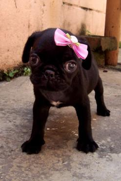 Thanks Lynn!!!! This lil sweetie is too cute: Cutest Pug, Animals, Pug Puppies, Pretty Girl, Pink Bows, Pugs, Puppy, Dog