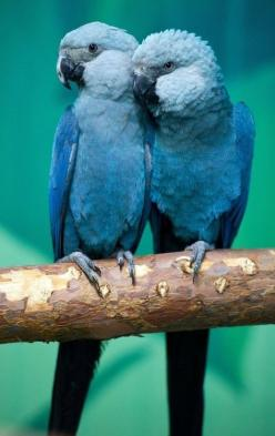The beautifull Spix's Macaws are the rarest parrot species in the world. An endangered species from the tropical rainforest Brazil.: Animals, Spix S Macaws, Spix Macaws, Parrots, Spixs, Beautiful Birds