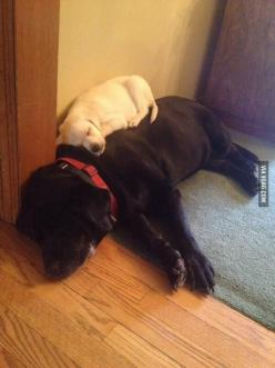 The best kind of bed. Labradors have hearts of gold... so loving!: Doggie, Animals, Beds, Dogs, Pet, Puppy, Labrador