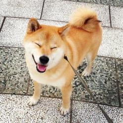 The Best Of Marutaro: The Cutest Shiba Inu On Instagram: Instagram, Shiba Inu, Cutest Dogs, Pet, Internet Dogs, Cutest Shiba, Doge, Shibainu