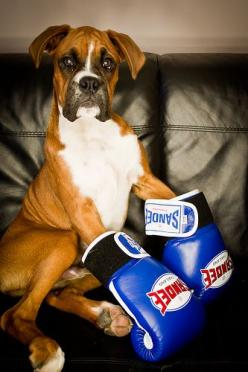 The Boxer: Picture, Boxer Dogs, Animals, Pets, Funny, Boxers, Gloves, Baby