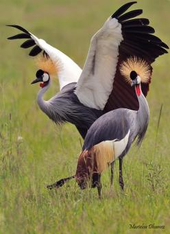 The Grey Crowned Crane or the Crested Crane (Balearica regulorum) is a bird in the crane family Gruidae. It occurs in dry savannah in Africa south of the Sahara, although it nests in somewhat wetter habitats. This animal does not migrate. The Grey Crowned