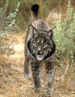 The Iberian lynx, brought back from the brink of extinction by a team of dedicated biologists in Spain: Wildcats, Animals, Big Cats, Bigcats, Dedicated Biologists, Extinction, Wild Cats, Iberian Lynx