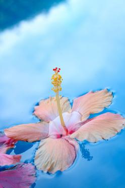 ...the liquid sky--our life suspended...interlocked in the  elements essential--water...breath   >lisa: Floating Hibiscus, Tropical Flower, Beautiful, Hibiscus Flowers, Summer, Beauty, Flowers, Garden, Hawaii