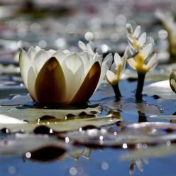 the Lotus or water Lily is my favorite flower, i carried a boquet of water lilies on my wedding day: Waterlily, Nature, Deepak Chopra, Lotus Flowers, Waterlilies, Beautiful Flowers, Water Lily, Light, Water Lilies