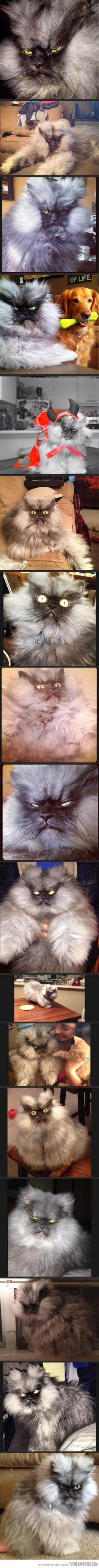 The most glorious angry cat that has ever existed…he's probably so grumpy because he has so much hair...: Cats, Animals, Evil Cat, Glorious Angry, Second Angry, Angry Cat, Funny, Grumpy Cat