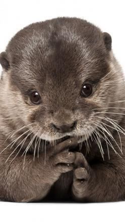 The only animal that appears both kindly retiring and possibly a supervillain simultaneously.: Otter Face, Animal Eyes, Baby Otters, Beautiful Animals, Animal Close Up, Adorable Otter, Otter Ly, Animal Face, Otter Cuteness
