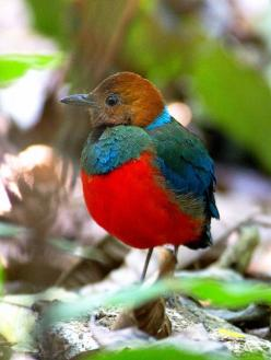 The Red-bellied Pitta (Erythropitta erythrogaster) is a species of bird in the Pittidae family. It is found in Australia, Indonesia, Papua New Guinea, and the Philippines. Its natural habitat is subtropical or tropical moist lowland forests.: Colorful Bir