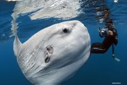 The remarkable ability of Internet users to make a post go viral has produced a new treat: an enchanting picture of a Mola mola, or ocean sunfish, undulating just below the surface of the ocean. Th...: Ocean Sunfish, Mola Mola, Sea Life, Animals, Sea Crea