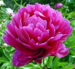 The smell of peonies is different in the city than on a farm. The smell is intense and sweet. It grew naturally, thank god, cause my mom killed all of our indoor plants.: Ideas, Wedding, Gardening, Flower Power, Flowers, Tattoo, Peonies, Favorite Flower
